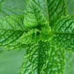 mint for mint sauce